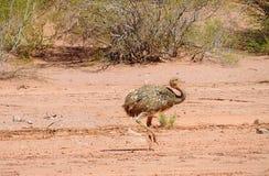 Птица Nandu идя в пустыню Стоковое Фото