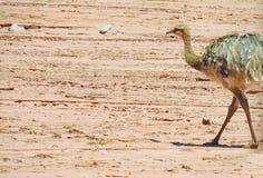 Птица Nandu идя в пустыню Стоковые Фото