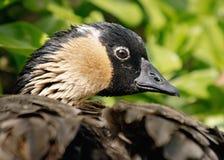 Птица Nene Стоковое Изображение