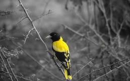 Птица Oriolе парка Yala Черно-головая стоковые изображения rf