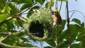 Птица Oriolе Стоковое Изображение RF
