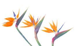 Птица paradize граница цветков стоковая фотография