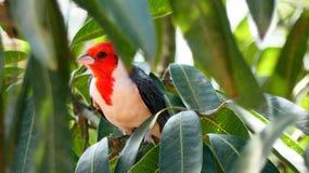 Птица Paroare в боливийском тропическом лесе, Южной Америке стоковые фото