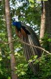 Птица Pefowl Стоковое Изображение