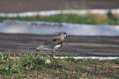 Птица Quero Quero Стоковые Изображения RF