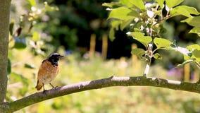 Птица Redstart на ветви сток-видео