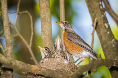 Птица Robbin, гнездо, птицы младенца, дерево, лимб, Стоковая Фотография RF