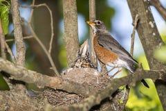 Птица Robbin, гнездо, птицы младенца, дерево, лимб, стоковые фотографии rf