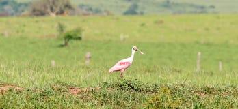 Птица Roseate колпицы на открытом поле Стоковое Изображение RF