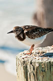 Птица Sanderling стоя на штабелевке на тропическом пляже Стоковые Фото