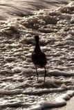 Птица Sandpiper в море Стоковые Фотографии RF