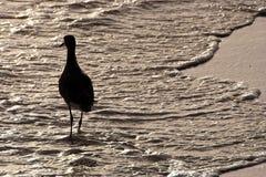 Птица Sandpiper гуляя в море Стоковая Фотография