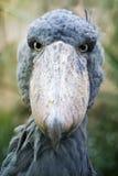 Птица Shoebill стоковые фотографии rf