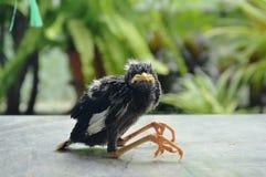 Птица starlings младенца падая от гнезда на плиточном поле Стоковые Изображения