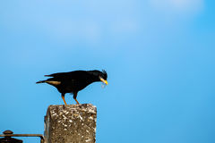 Птица Starlings на столбе Стоковые Фото