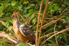 птица stinky Стоковые Изображения