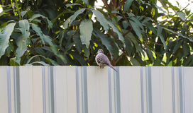 Птица striata Geopelia голубя зебры Стоковое фото RF