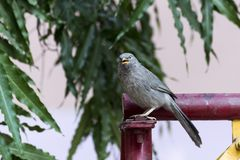 Птица striata Turdoides пустозвона джунглей в Nathdwara, Раджастхане, Индии Стоковые Изображения RF