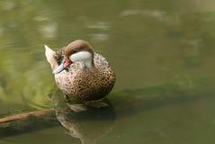 Птица Teal Стоковые Фотографии RF