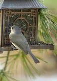 Птица Titmouse вися вокруг фидер птицы Стоковые Фото