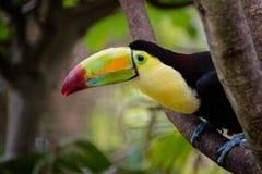 Птица Toco Toucan на ветви в дереве стоковые фотографии rf
