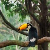 Птица Toucan на тропическом дереве Стоковые Фото