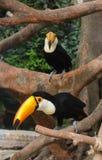 Птица Toucan на тропическом дереве Стоковое Фото