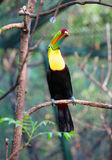 Птица Toucan сидя на ветви Стоковая Фотография