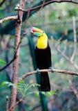 Птица Toucan сидя на ветви Стоковое Фото