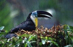 птица toucan Стоковые Фотографии RF