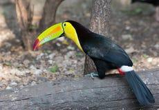 птица toucan Стоковое Изображение RF