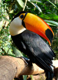 птица toucan Стоковые Изображения