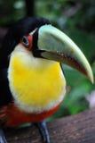 птица toucan Стоковое Изображение