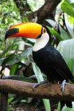 птица toucan Стоковая Фотография