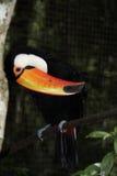 птица toucan Стоковое Фото