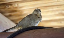 Птица Towhee каньона, колоссальный парк горы пещеры, Аризона стоковая фотография