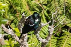 Птица Tui отдыхая на ветви дерева Стоковые Изображения