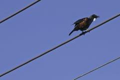 Птица Tui поет электрические провода Стоковые Фото
