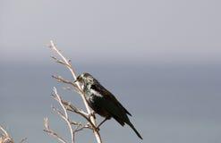 Птица Tui Стоковые Изображения