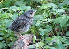 Птица Turdus стоковые изображения rf