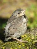Птица Turdus Стоковое Фото