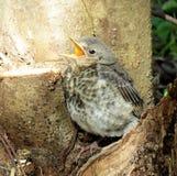 Птица Turdus Стоковое Изображение