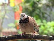Птица Turtledove в открытой клетке с связанными ногами стоковые изображения rf