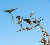 Птица Undertaker Стоковая Фотография
