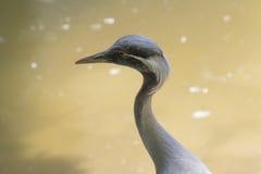 Птица virgo Grus Стоковое Изображение