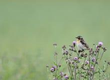 Птица Whinchat на thistles Стоковое фото RF