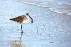 Птица Willet на пляже с крабом в ем клюв ` s Стоковое фото RF