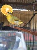 Птица Zosterops Стоковое Изображение