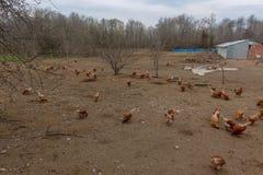Птицефермы и цыплята Стоковое фото RF
