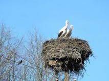 Птицы аиста в гнезде и деревьях, Литве Стоковая Фотография